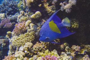 Ägyptischer Kaiserfisch beim Schöner Tauchen