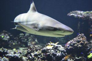 Neugieriger Hai beobachtet Tauchschule