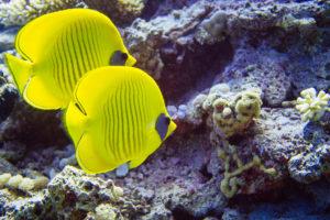 Nitrox tauchen mit Zitronenfalterfischen