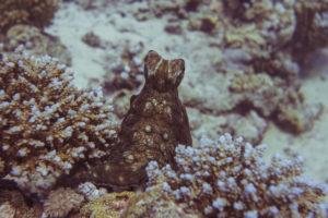 Anpassung eines Oktopus beim Tauchkurs