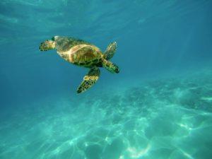 Schildkröte beim Tauchen in Kroatien