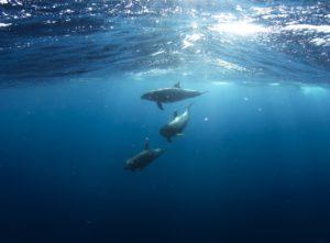 Delfine beim Tauchen in Mallorca