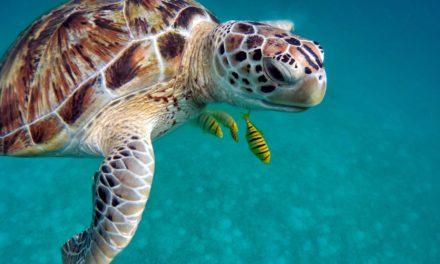 Die Meeresschildkröte – Urtier unseres Ozeans