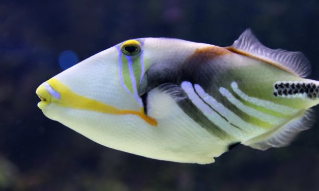 Der Drückerfisch – Tauchen mit dem Triggerfish