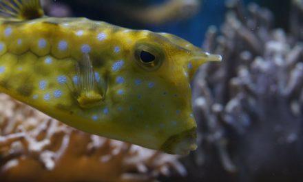 Der Kofferfisch – Das unterschätzte Tier