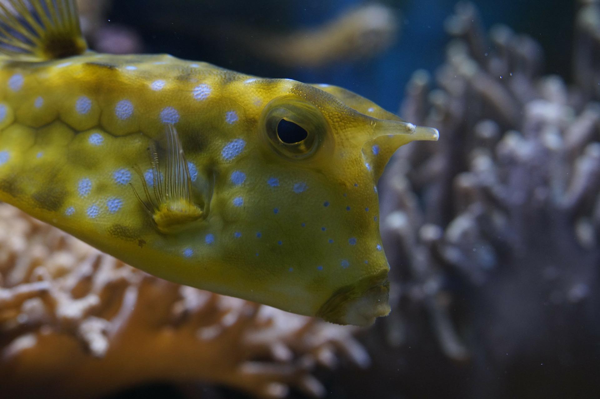 Kofferfisch closeup Foto