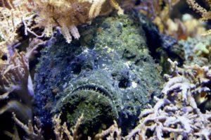 Steinfisch versteckt in Korallenriff