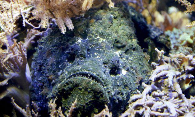 Der Steinfisch – Heimtückische Camouflage