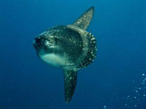 Mola Mola unter Wasser