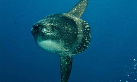 Mola Mola – Der größte Knochenfisch der Welt