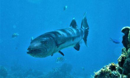 Der Barrakuda – Der Tiger der Meere