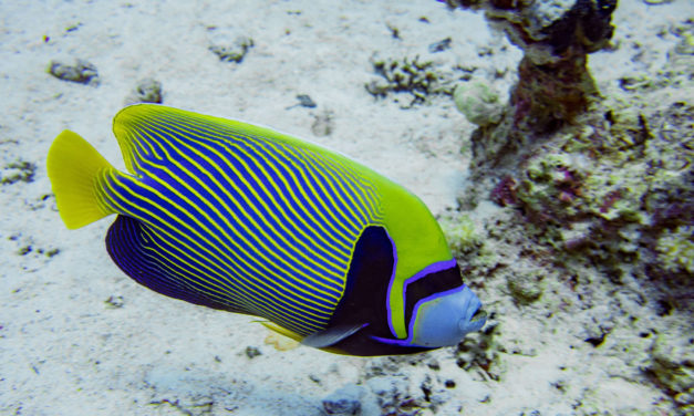Der Kaiserfisch – Farbenprächtigter Fisch Unterwasser