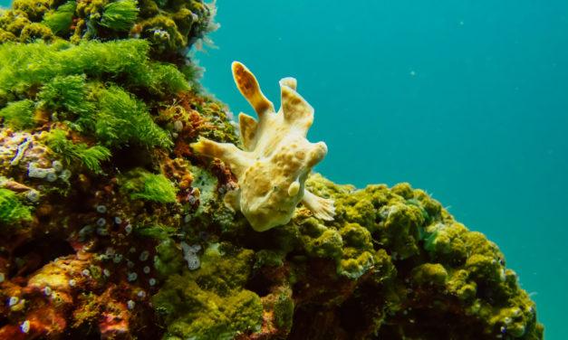 Der Anglerfisch – Tropischer Knochenfisch